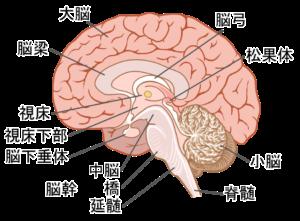 脳の視床下部は体温調節の中枢です